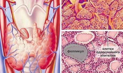 Под васкуляризацией щитовидной железы понимают формирование новых кровеносных сосудов