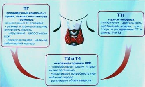 Тироксин, или Т4, и трийодтиронин, или Т3, отвечают за все обменные процессы в организме