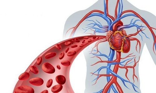 Проявляющееся после применения пиявок кровотечение никоим образом не влияет на общее кровообращение