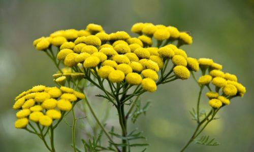 Есть такое лекарственное растение, как пижма, которое тоже хорошо помогает при борьбе с герпесом