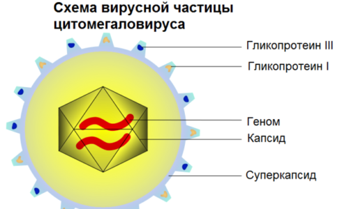 Передается вирус очень легко. Опасными путями являются слизистые человека, через которые вирус проникает в организм
