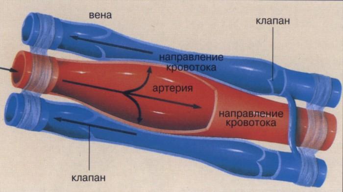 Венозная стенка